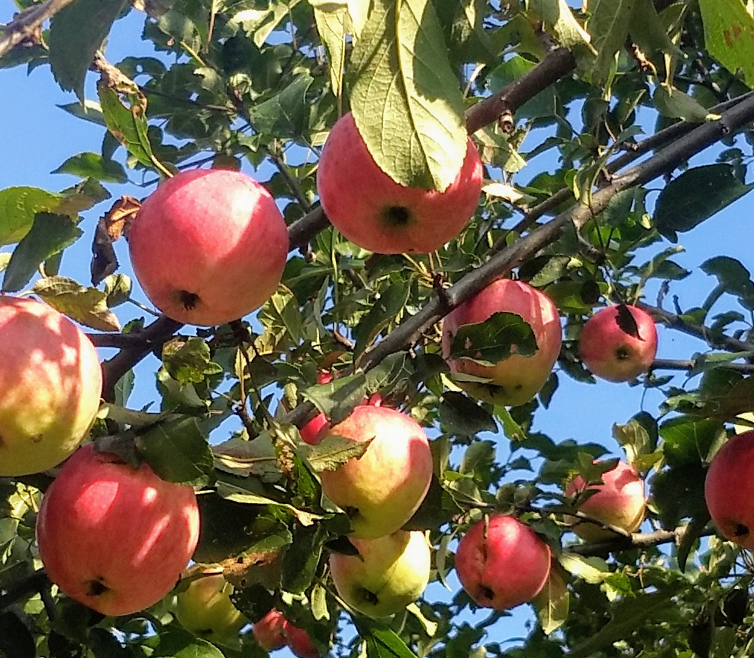 Backyard Apples.jpg