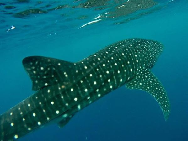 20+ foot Whale Shark off the coast of Kona, Hawaii.