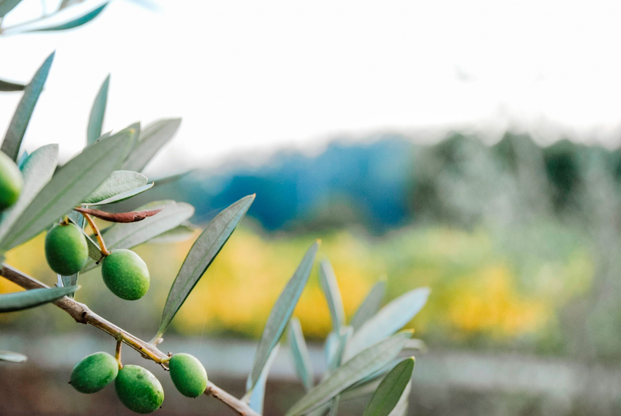 Deep Roots.    Wine and Olives Inspired by Family.