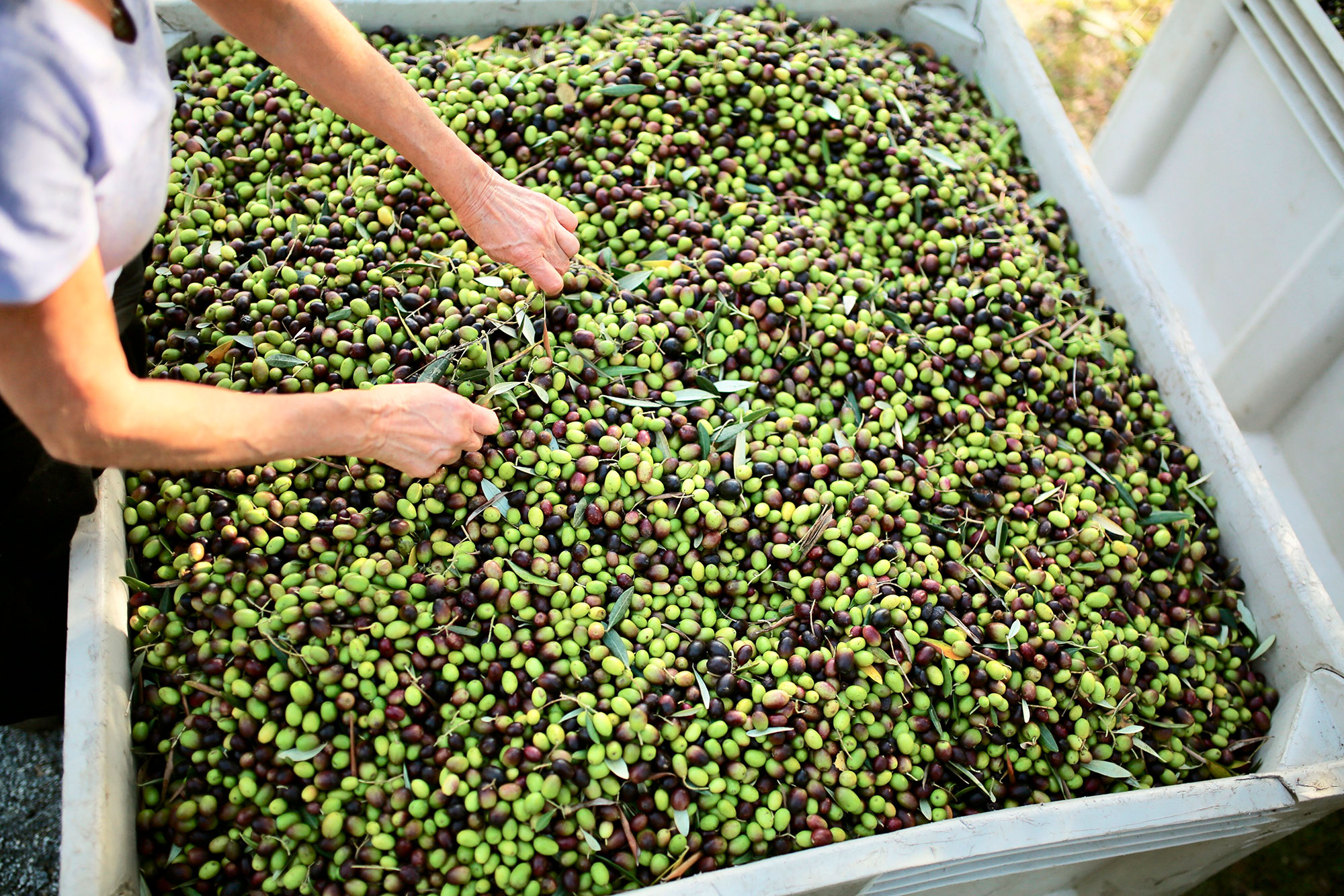 bin-of-olives-horizontal.jpg