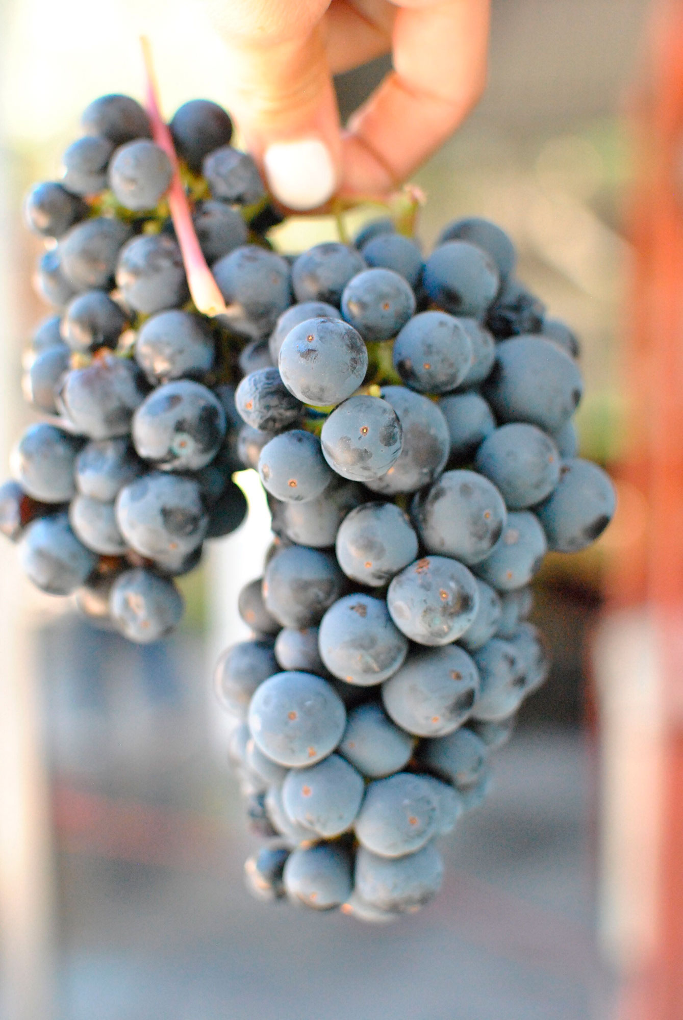 hanging-grapes-vertical.jpg
