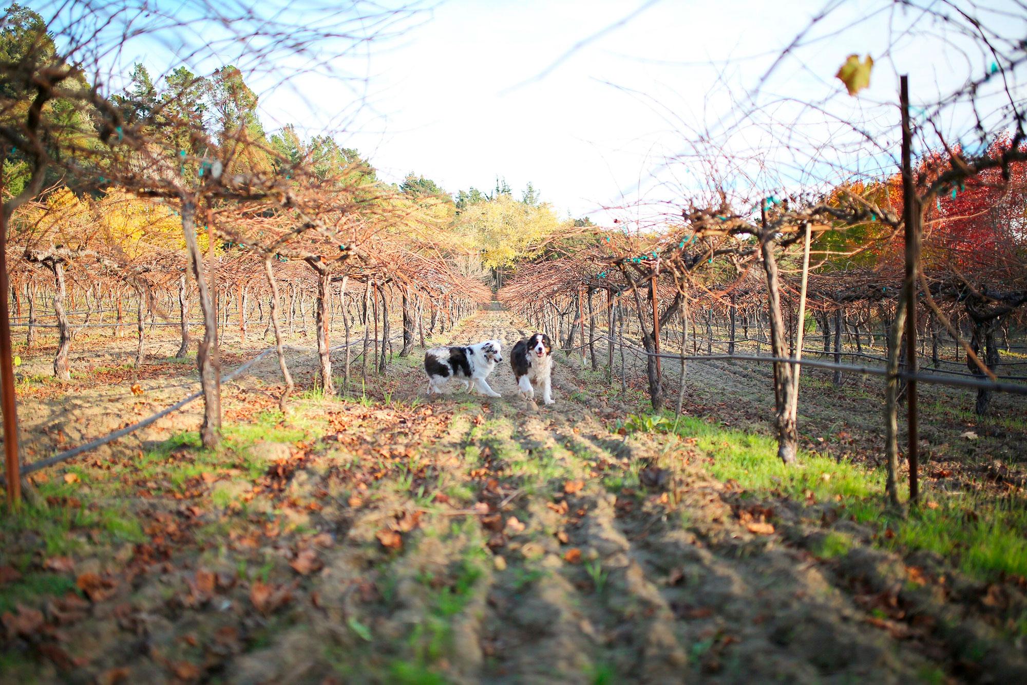 dogs-bare-vineyard.jpg