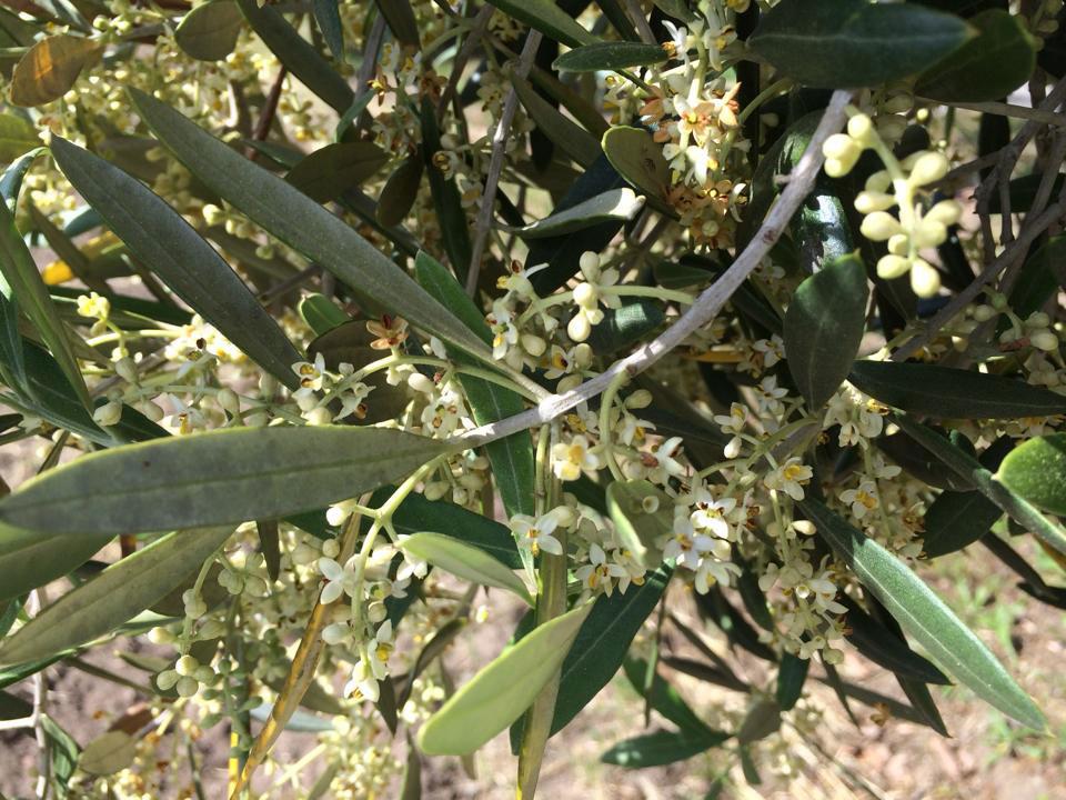 Olive-Blossoms.jpg