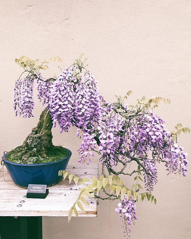 It's another rainy day here in NYC, so here's a beautiful wisteria bonsai from the Brooklyn Botanic Garden to cheer you up. 🌸  Flowers always make my day brighter. Let me know if you'd like to see a floral arranging post sometime.
