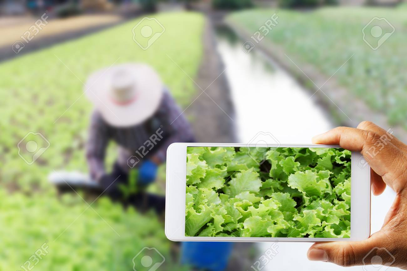 farmers-use-a-cell-phone-photographed-with-white-cabbage-with-farmer-working-blurred-as-the-backdrop.jpg