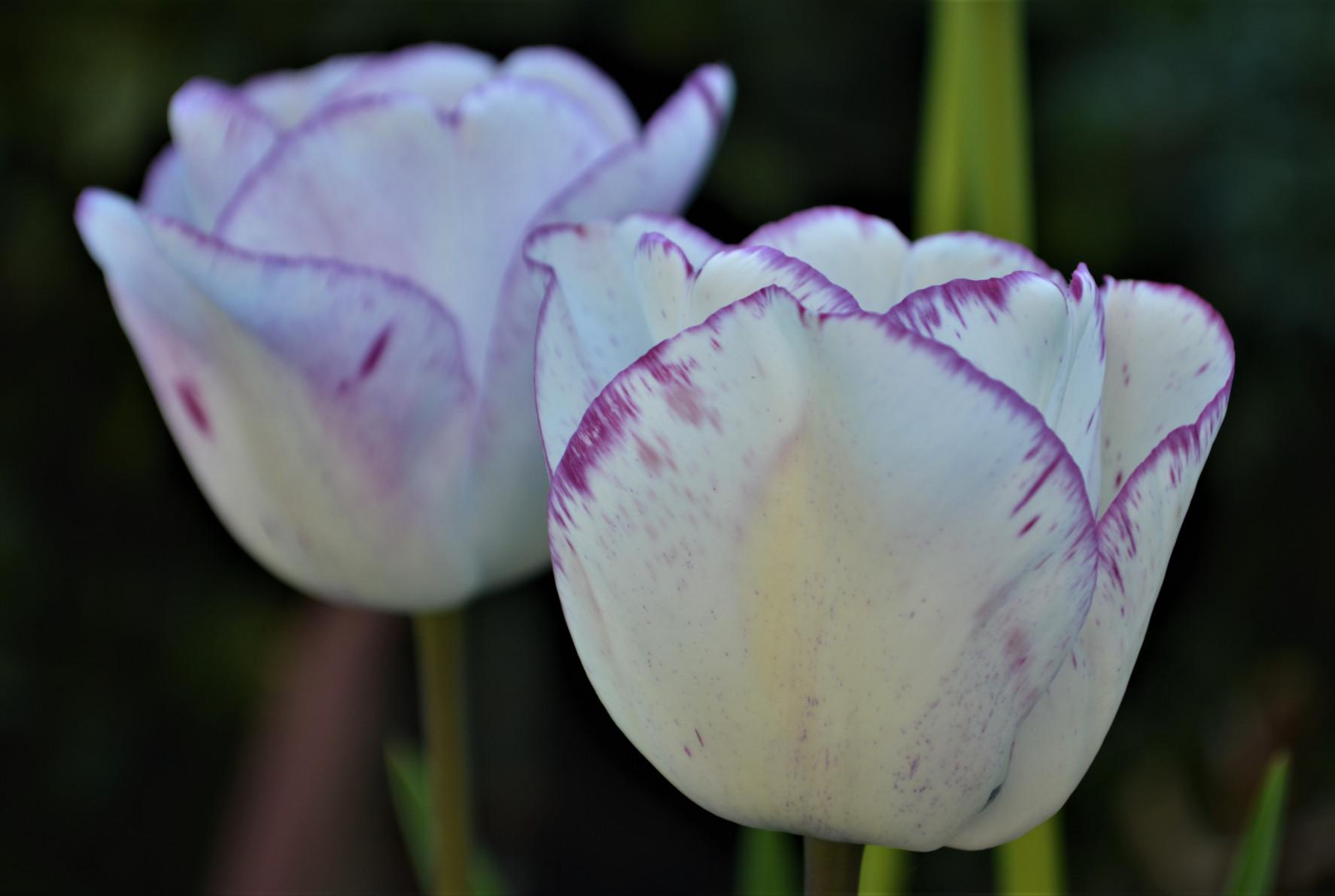 tulpenmania-2.jpg