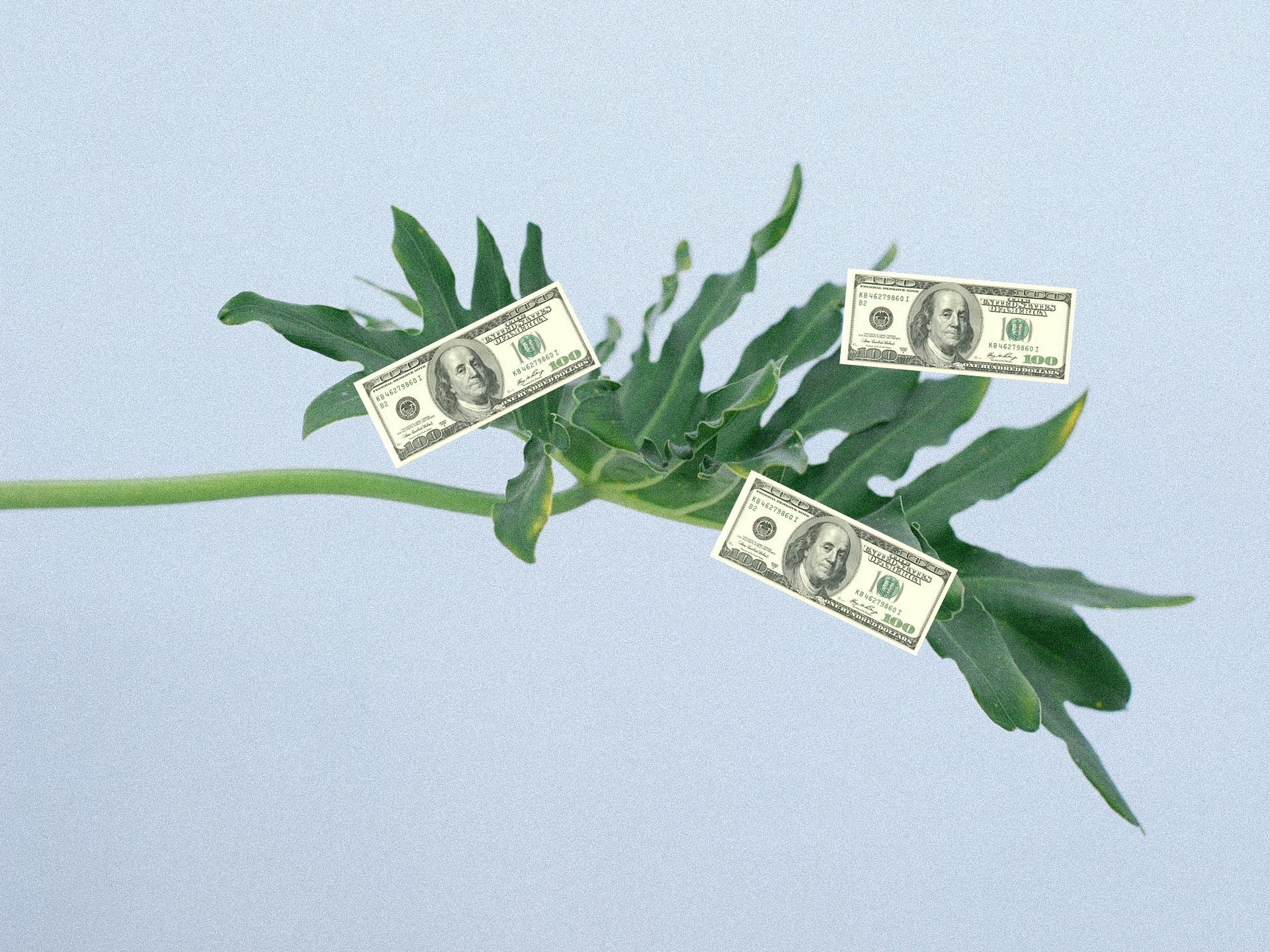 Three $100 dollar bills growing from a tropical plant leaf.