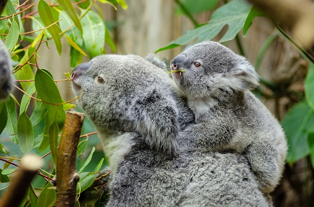 female-koala-and-her-baby-1332217_640.jpg