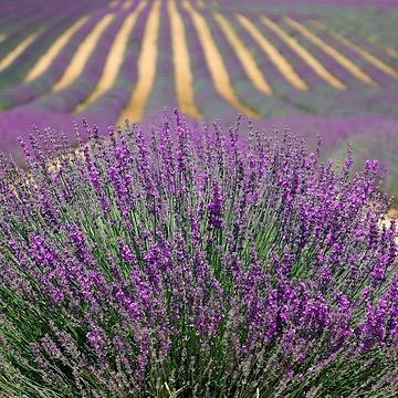 https://www.justactnatural.com/home/lavenderoil
