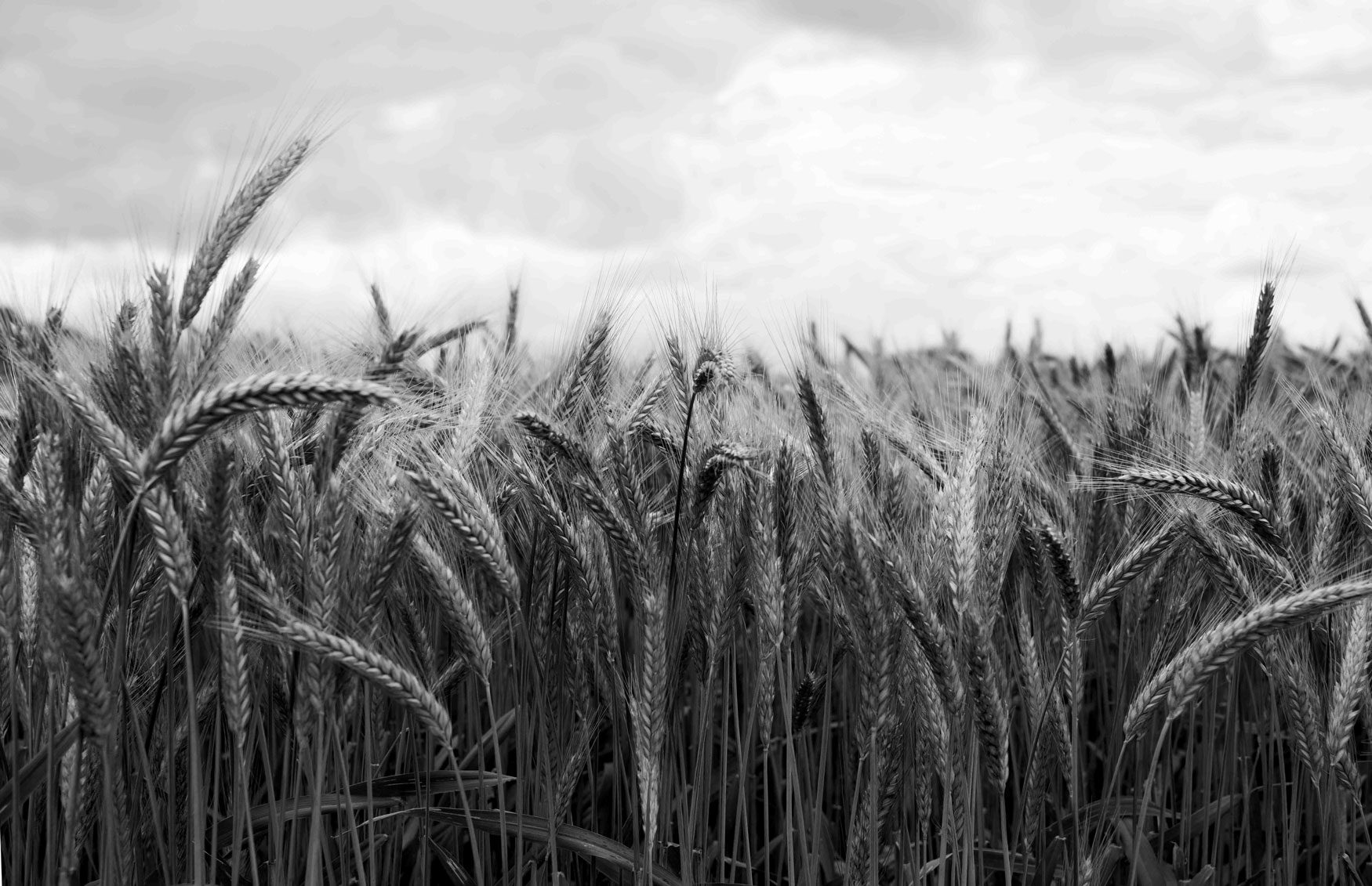 5963-grain-field.jpg