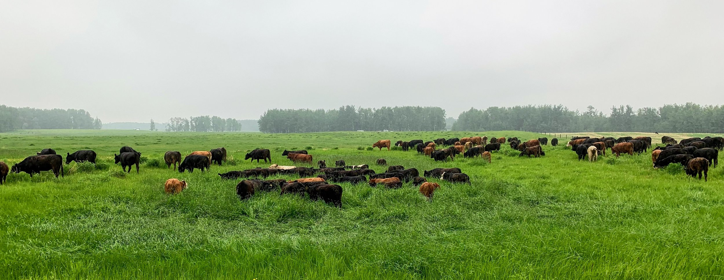 This is how we finish our beef. They are out on fresh green grass and only receive grass/hay for their diet.