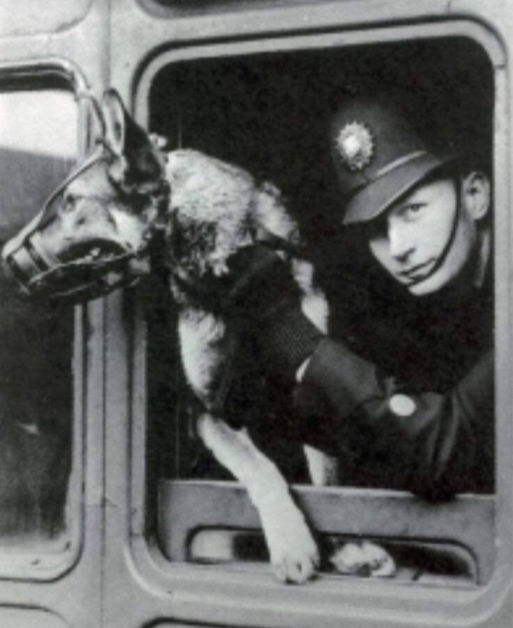 1914-1923: German Shepherds - Airedale's were conscripted into the 17th Northumberland Fusiliers(North Eastern Railway Pioneer Battalion) together with their handlers to serve in WW1.Hull dog trainers decided to move away from Airedale Terriers & Alsatians (German Shepherds) were to be introduced into policing, it was a gradual introduction.
