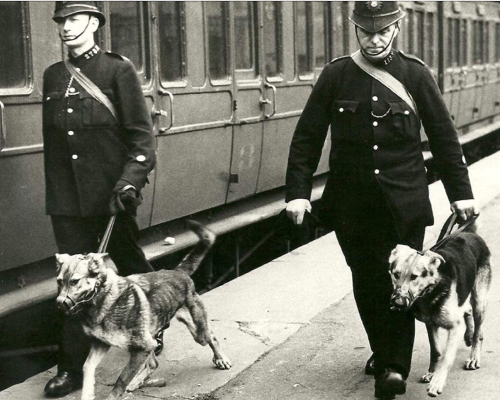 1940-50s: Railway Police - Following the end of WW2 Railway Police Forces started to be amalgamated into what became the British Transport Commission Police. A decision at this time was made to muzzle dogs whilst they were working. This led to the belief that BTCP dogs were more vicious that those being used by City Police Forces which weren't muzzled. A decision was soon made to dispense with the muzzle for all BTCP dogs.