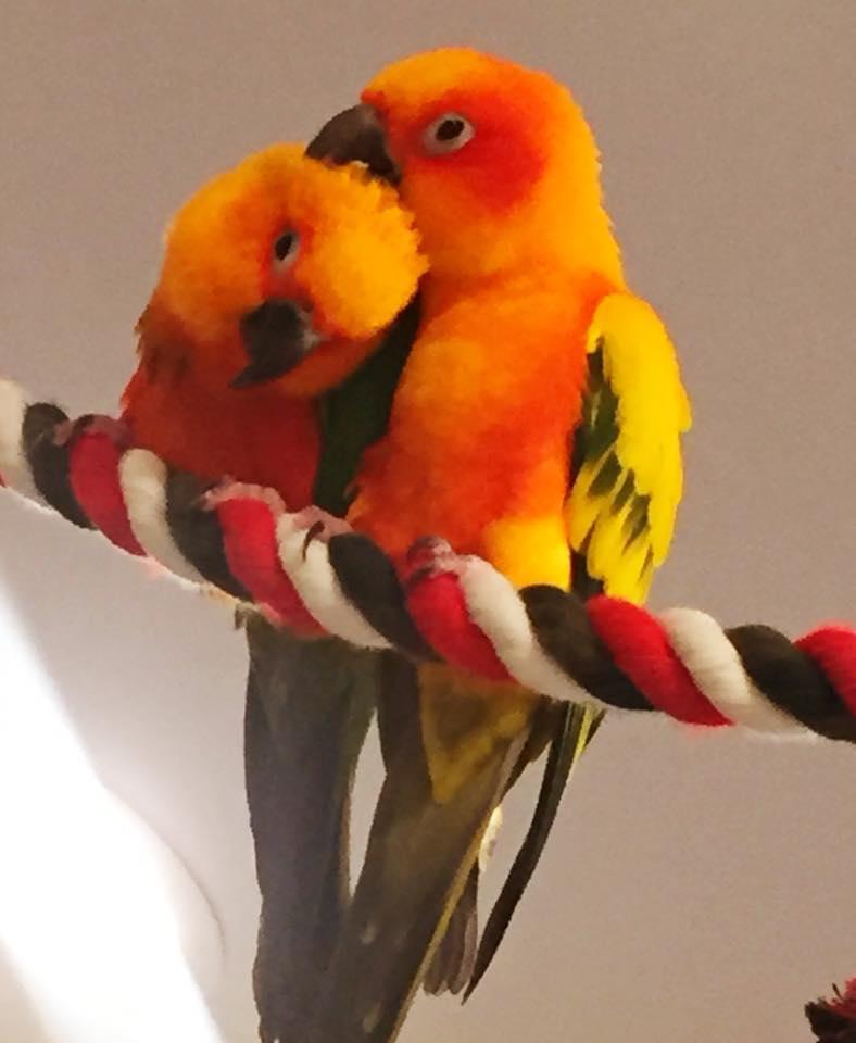 2 yellow parrots.jpg