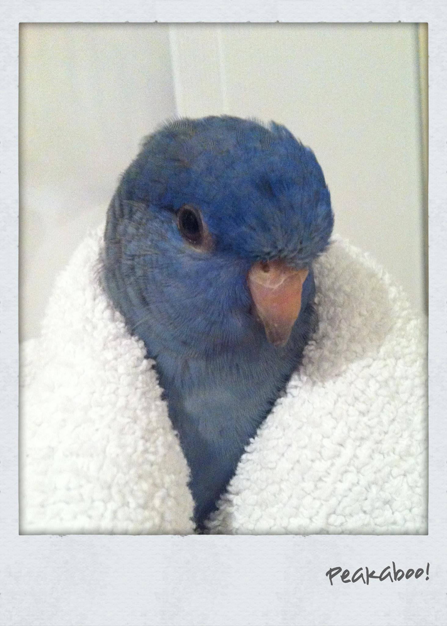 parrot wrapped up peeaboo.jpg
