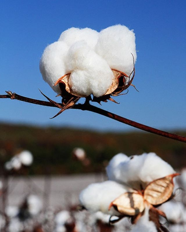 Our pima cotton is 100% Made in the USA and our unique treatment that gives it enhanced performance is friendly on the environment. ☁️☁️☁️☁️ Image: KevinandAmanda.com