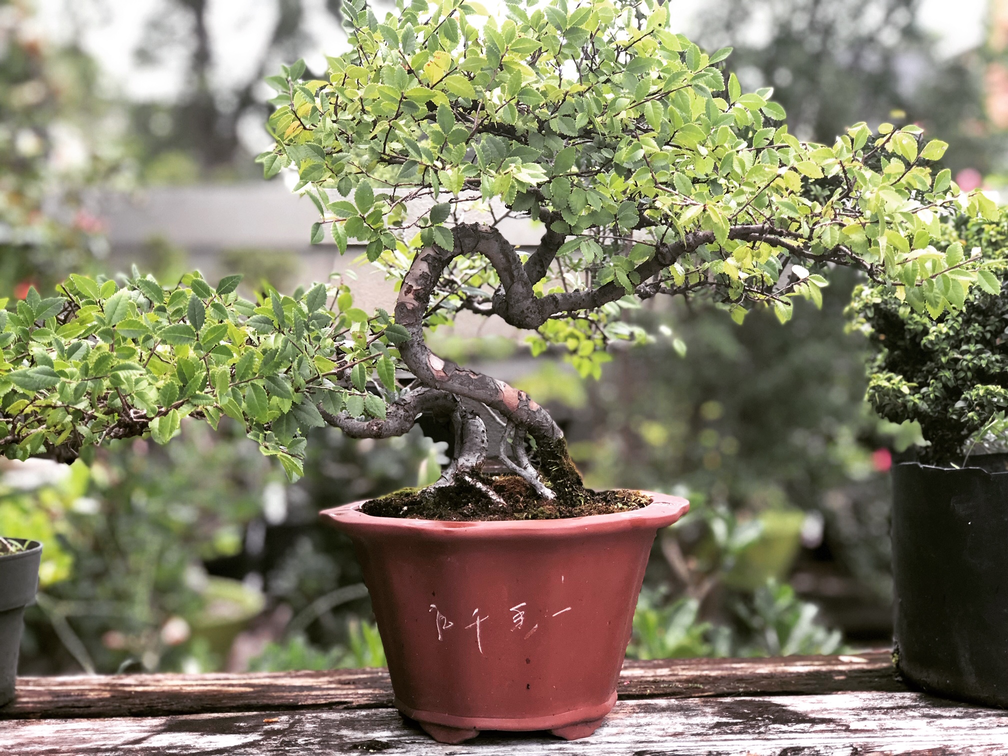 One of my dad's bonsai plants.