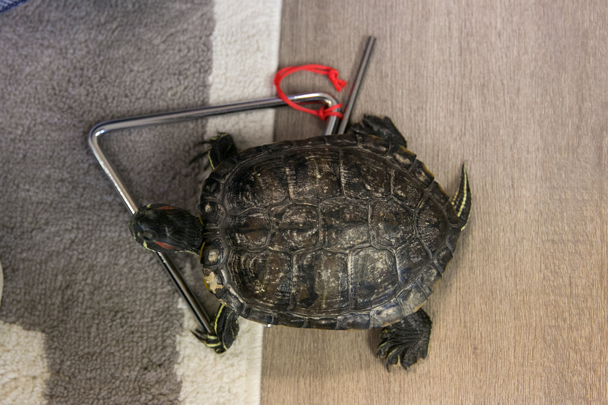 Rosehill_Montessori_Preschool_Kindergarten_classroom_classmates_music_Play_Pet_turtle_tortue_enrichment_program.jpg