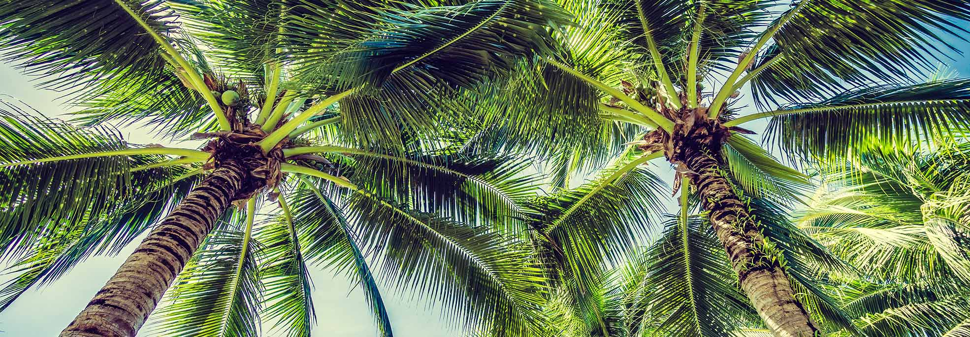 coconut trees view from below