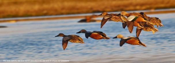 Ducks-in-Patagonia-608x220.jpg