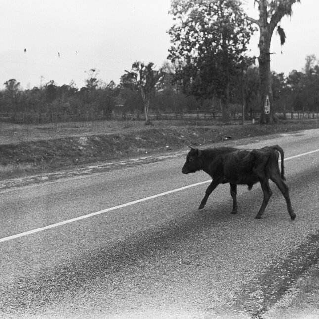 walking the cow.jpg