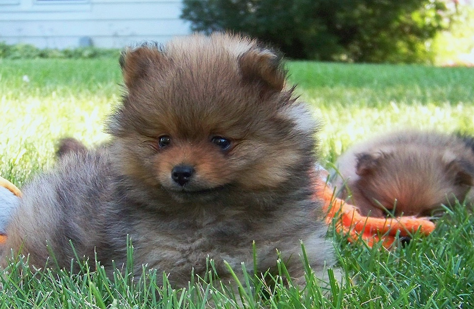About - Find out about Dakota Poms. Who I am, how long I've been a pom breeder, and how the dogs are taken care of by me.