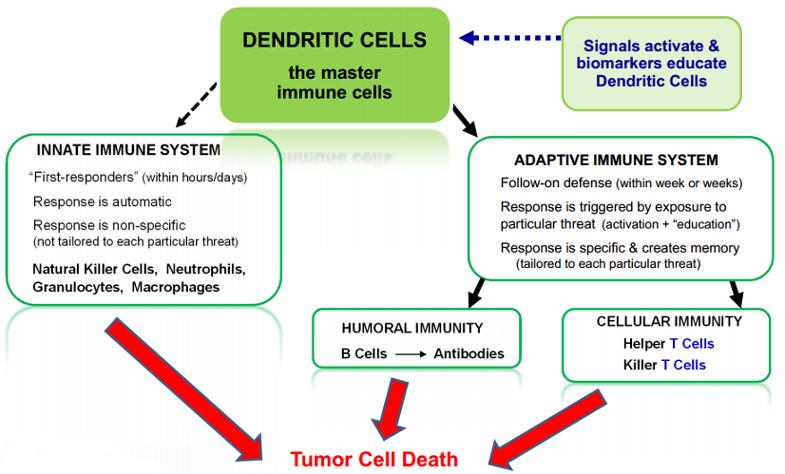 dendritic-cells1.png