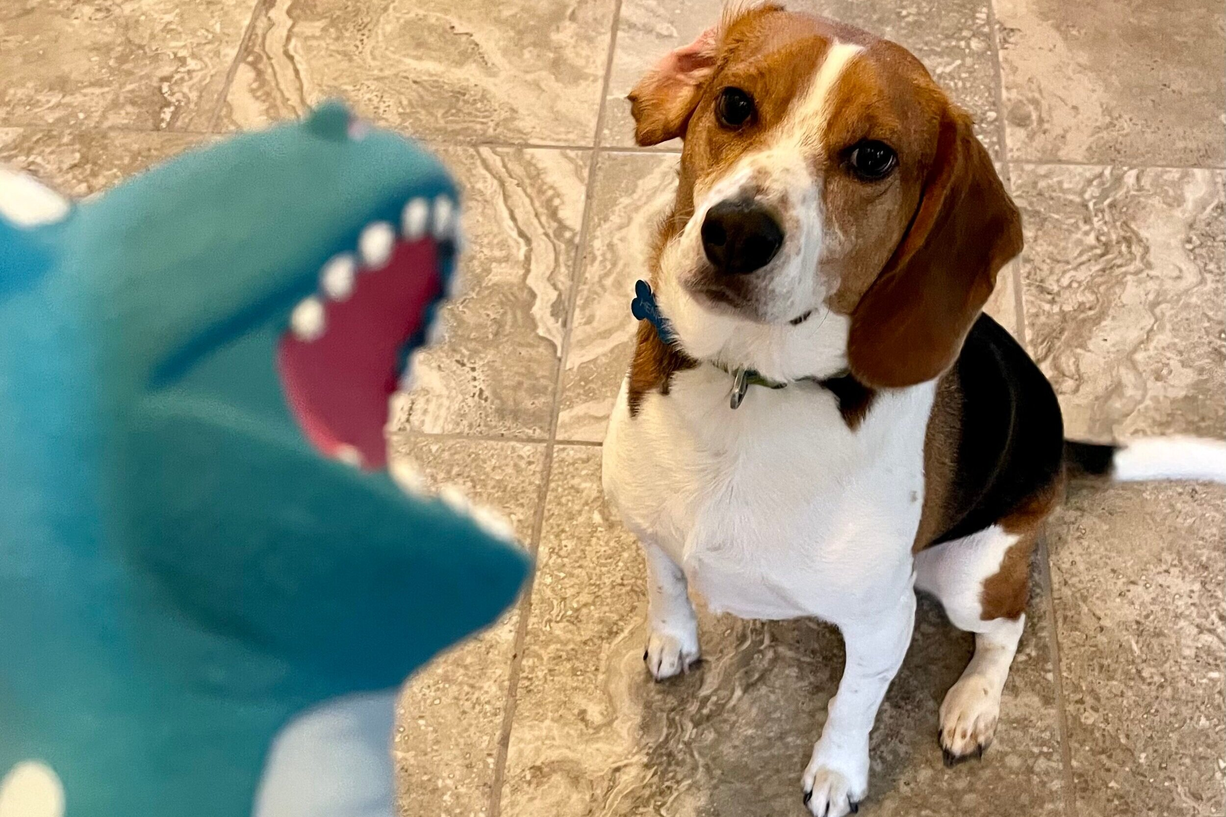 A picture of my beagle Henry waiting for his toy we purchased from Chewy.com