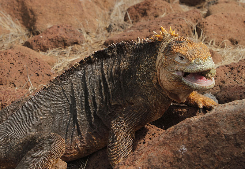 Galapagos Wildlife - The wildlife on Galapagos Islands (both in the water and on land), is exceedingly exceptional. If we compare them to the enormity of the Amazon Basin, Galapagos Islands are a very small archipelago that is lost far deep into the ocean.