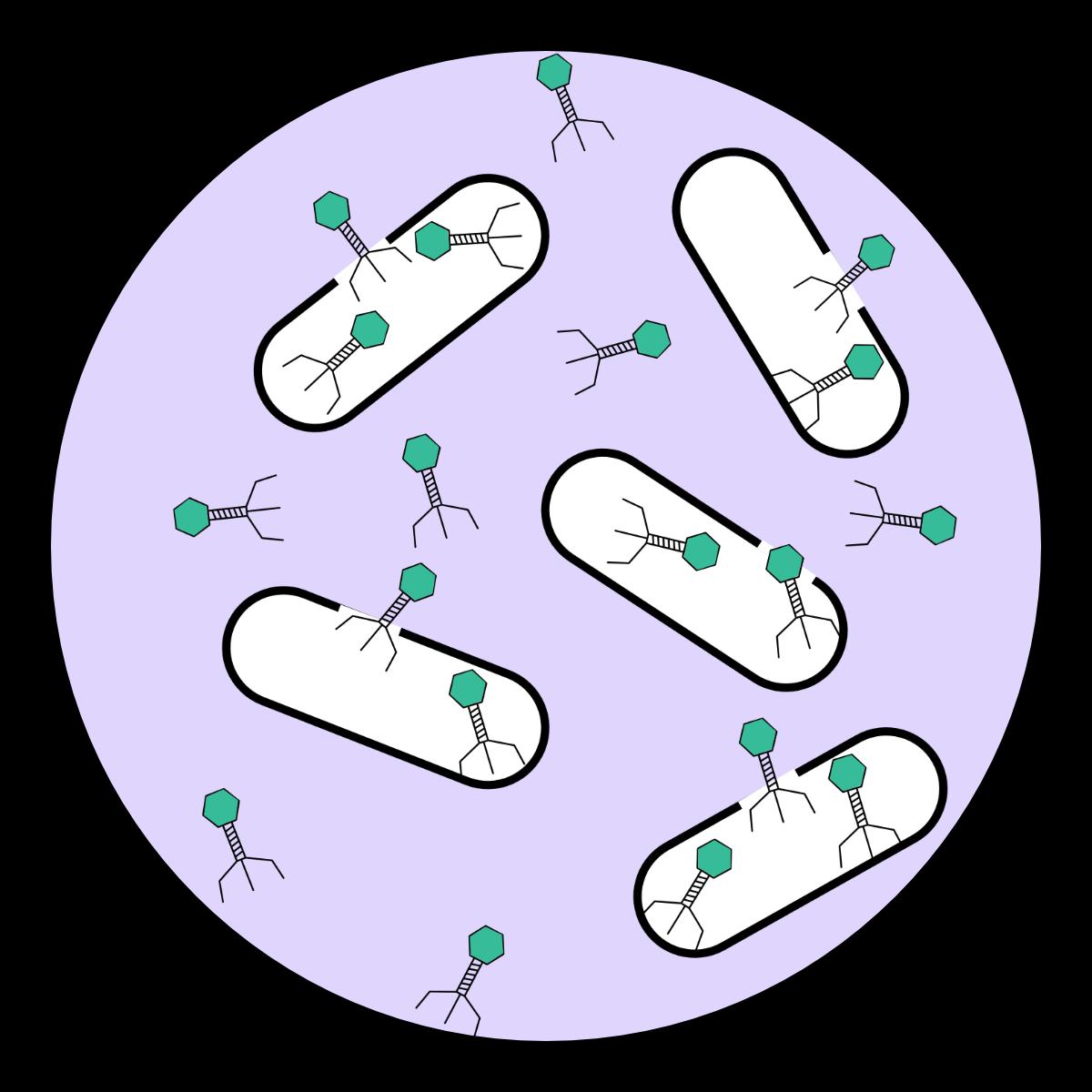 Phage transition three.png