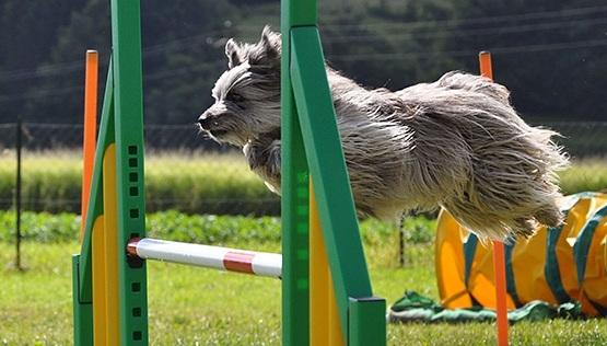 Agility : une activité ludique - L'agility est une discipline ludique. Elle doit être un jeu et une source de plaisir pour le chien et son maître. Elle développe la complicité et met en valeur l'entente et l'entraînement de leur tandem. En tant qu'activité sportive, elle constitue un excellent exercice physique pour le couple maître-chien.Lorsque la maîtrise est parfaite, l'agility ressemble parfois à une chorégraphie, les deux partenaires évoluant en harmonie avec adresse, précision et vitesse.
