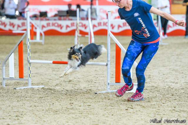 Agility : un sport canin - Inspiré du jumping équestre il y a presque 30 ans, l'agility est un sport canin qui consiste à guider le chien sur un parcours d'obstacles (haies, tunnels, slaloms...).Le maître devra conduire son compagnon sans laisse et sans le toucher à l'aide de commandes gestuelles et vocales. Le chien devra donc avoir de solides bases d'éducation et être à l'écoute de son maître.Pratiqué en compétition, l'équipe maître-chien devra effectuer un parcours d'une vingtaine d'obstacles dans les meilleurs temps tout en faisant le moins de fautes possible (refus, fautes de barres...).