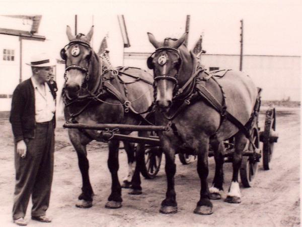 Mr. GL Bower with a draft horse team outside 1800 Garnet St (1951)