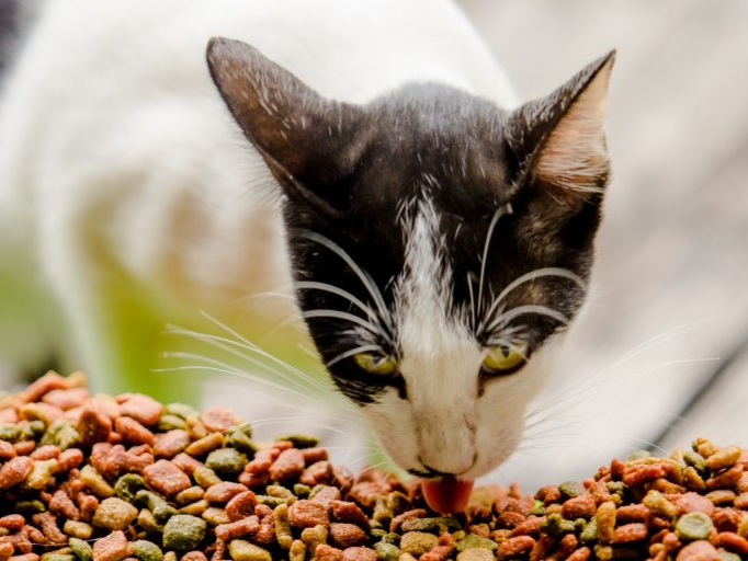 a black and white cat eating cat food