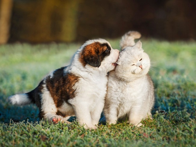 a white puppy with brown spots chews on the ear of a white cat on a lawn