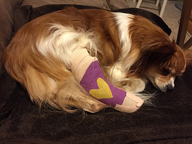 a small brown and white dog lying down with a purple cast on its back right leg with a yellow heart on it