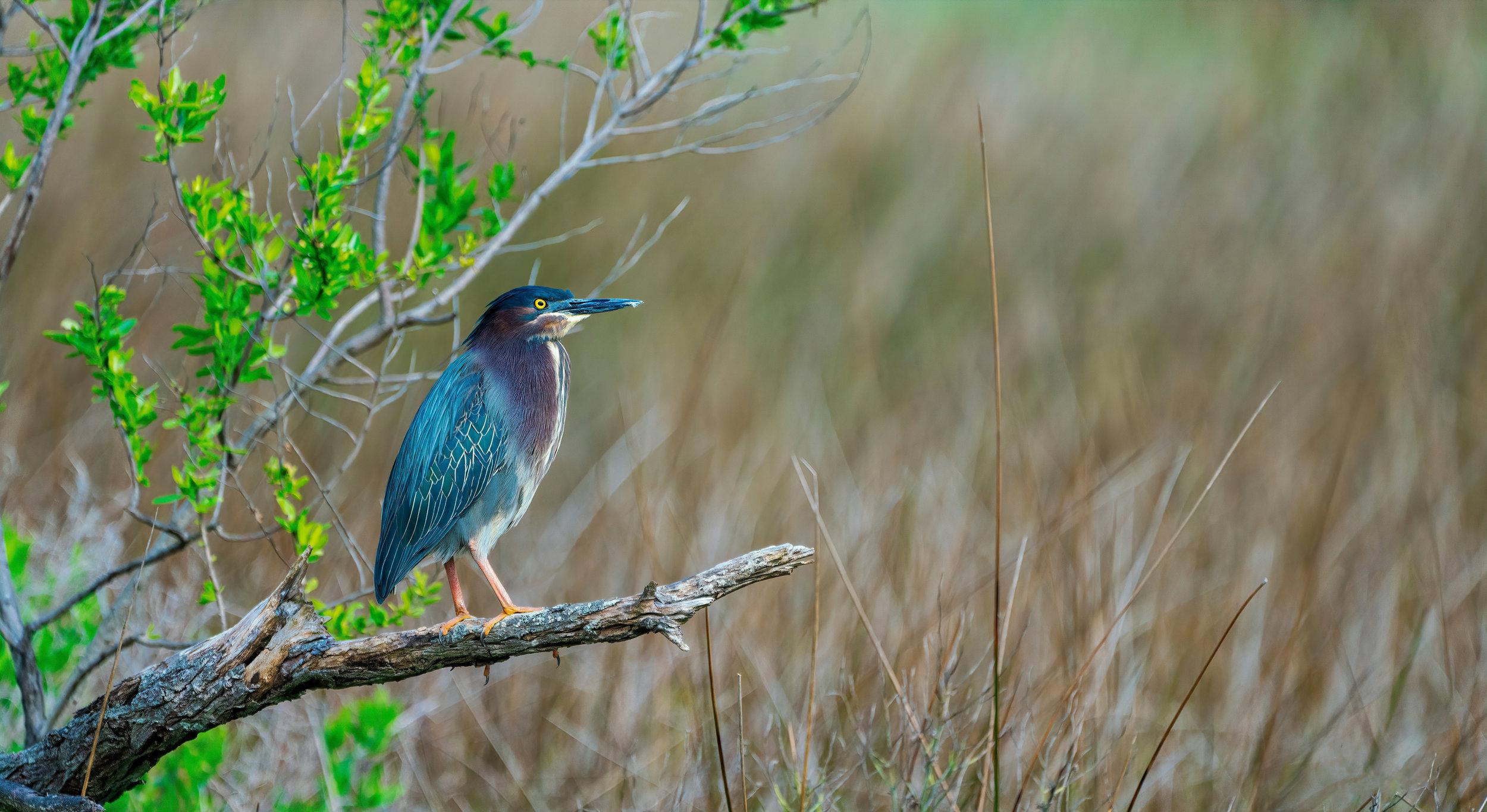 Green Heron-sharpen.jpg