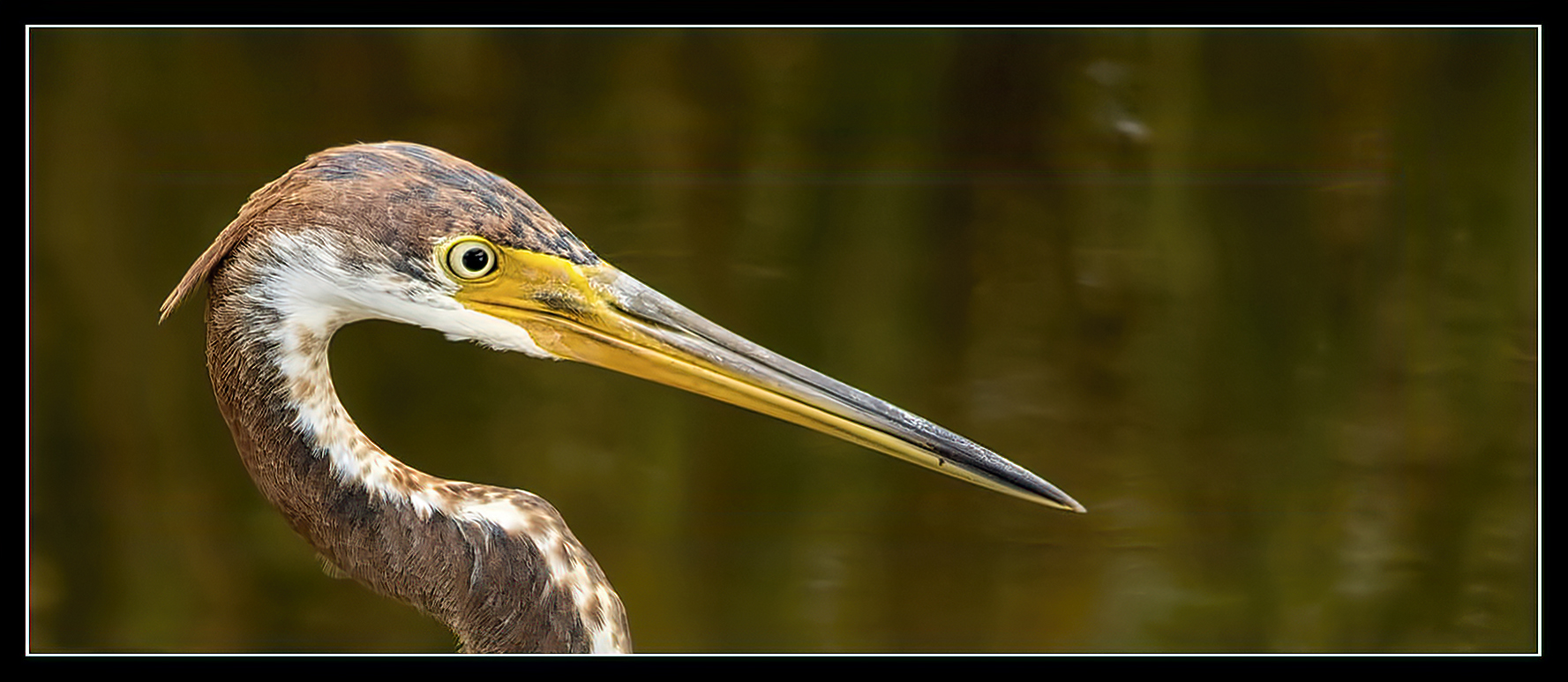 Juvenile Tricolored Heron Headshot.jpg