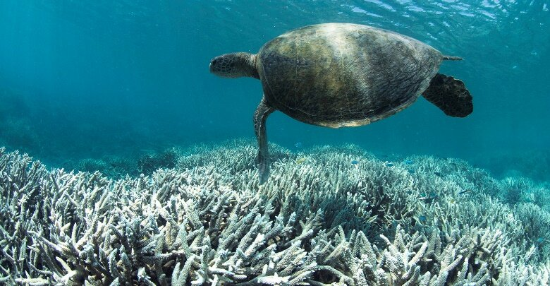 A turtle swims over the bleached coral at Heron Island on the Great Barrier Reef in February 2016. Credit: The Ocean Agency/XL Catlin Seaview Survey/Richard Vevers.