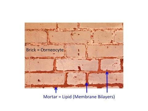 Bricks-and-Mortar-Model-of-Stratum-Corneum-480_large.jpg