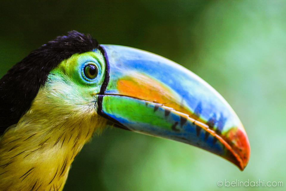tucan with rainbow beak