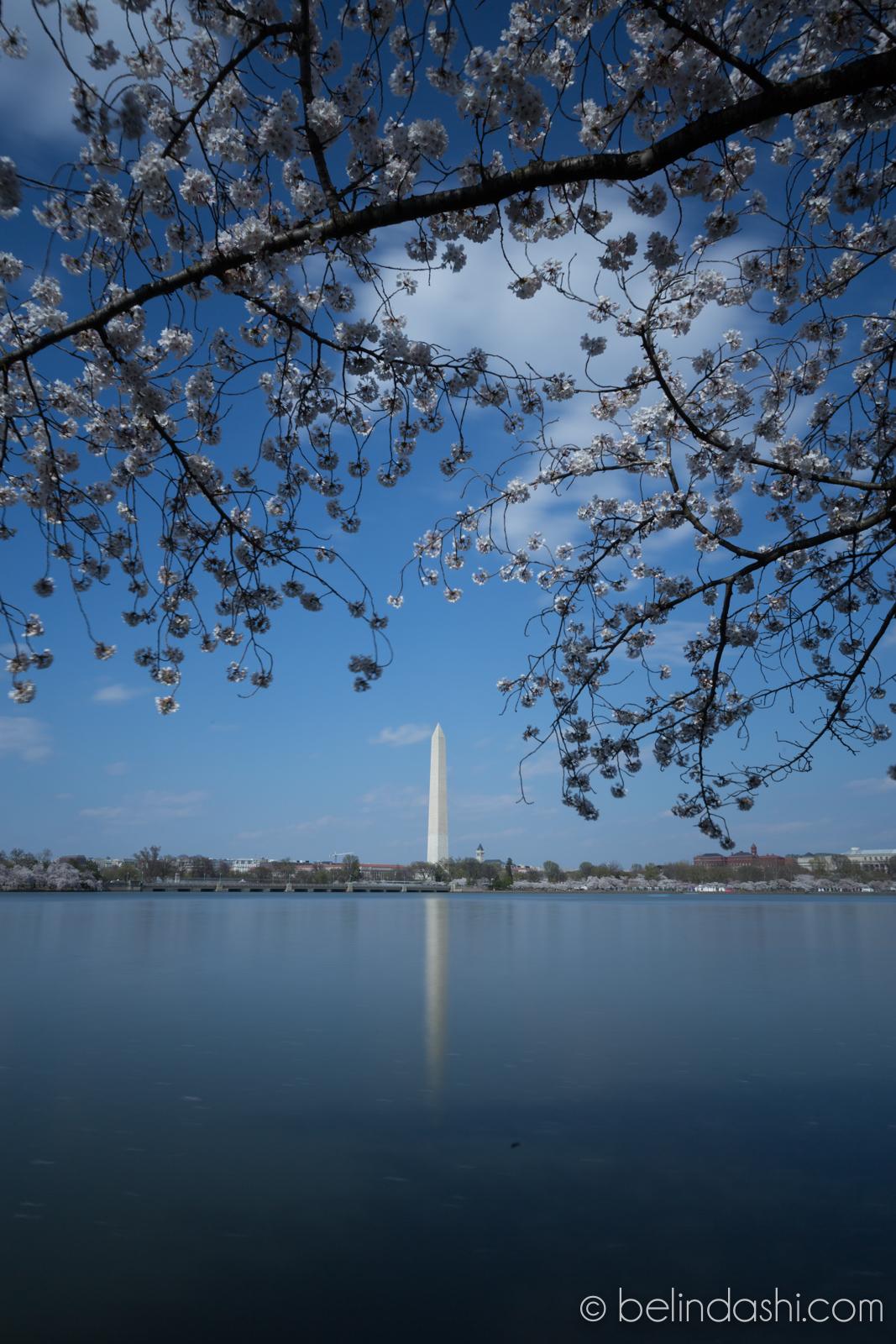 Washington Monument Cherry Blossom