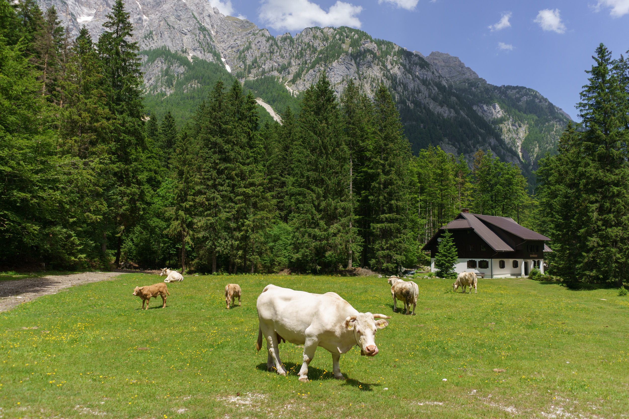 Cows in the Vrata valley.