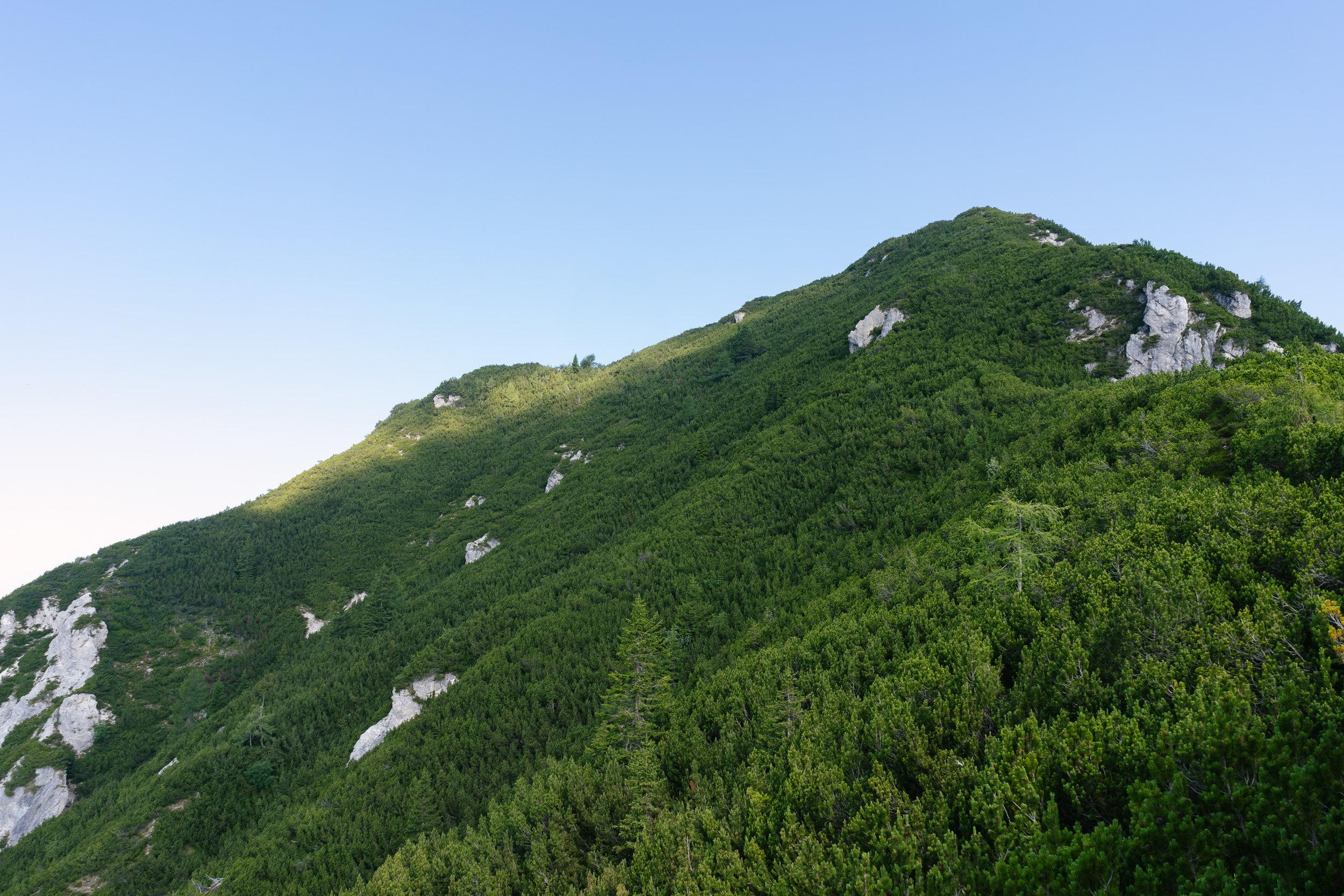 Making our way through these dense dwarf mountain pine shrubs to the top.