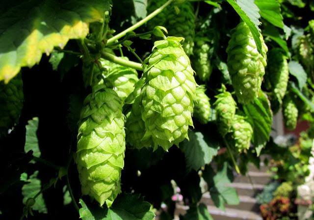 fresh-hops.jpg