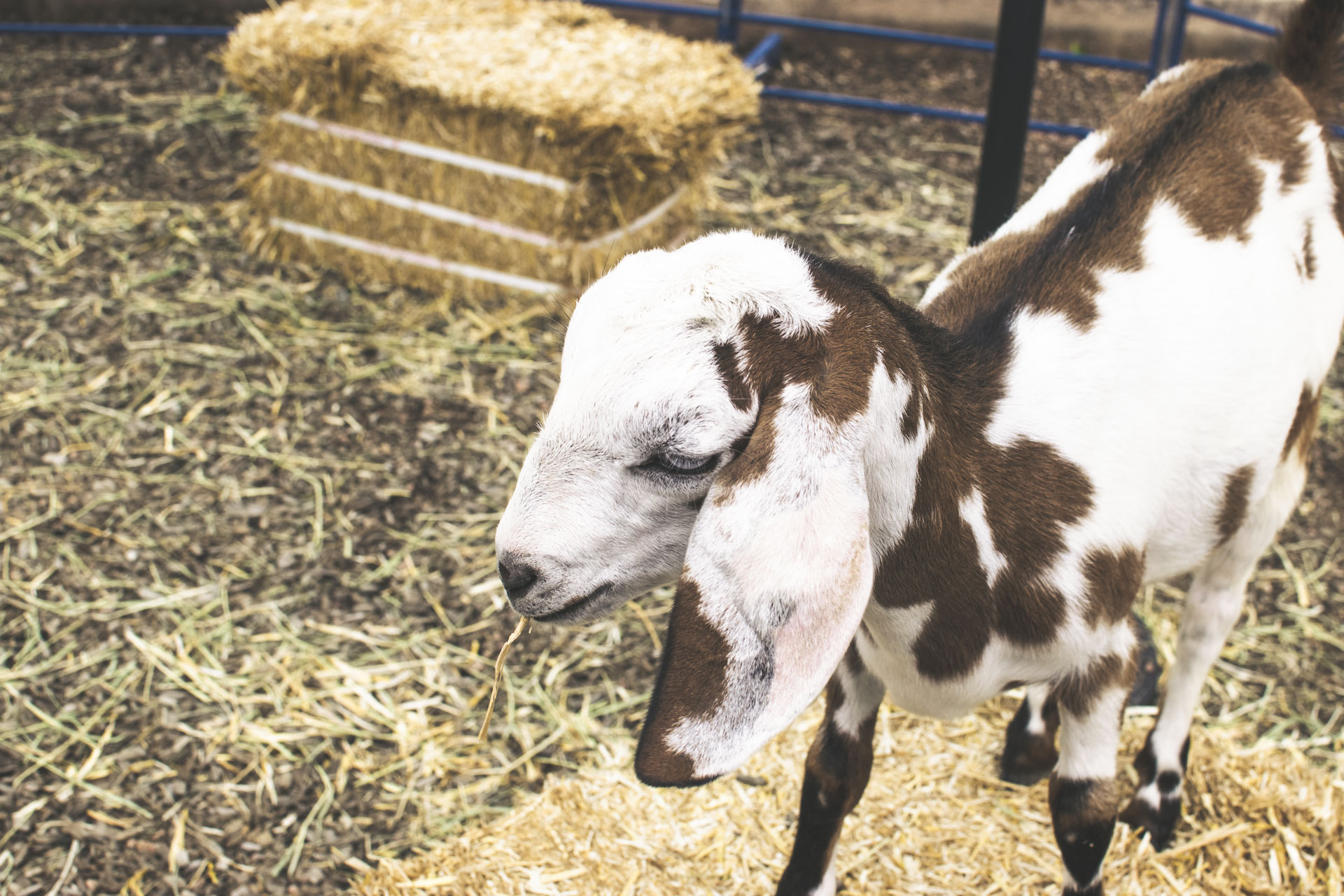 It wouldn't be a party at Goat Patch without goats, right?