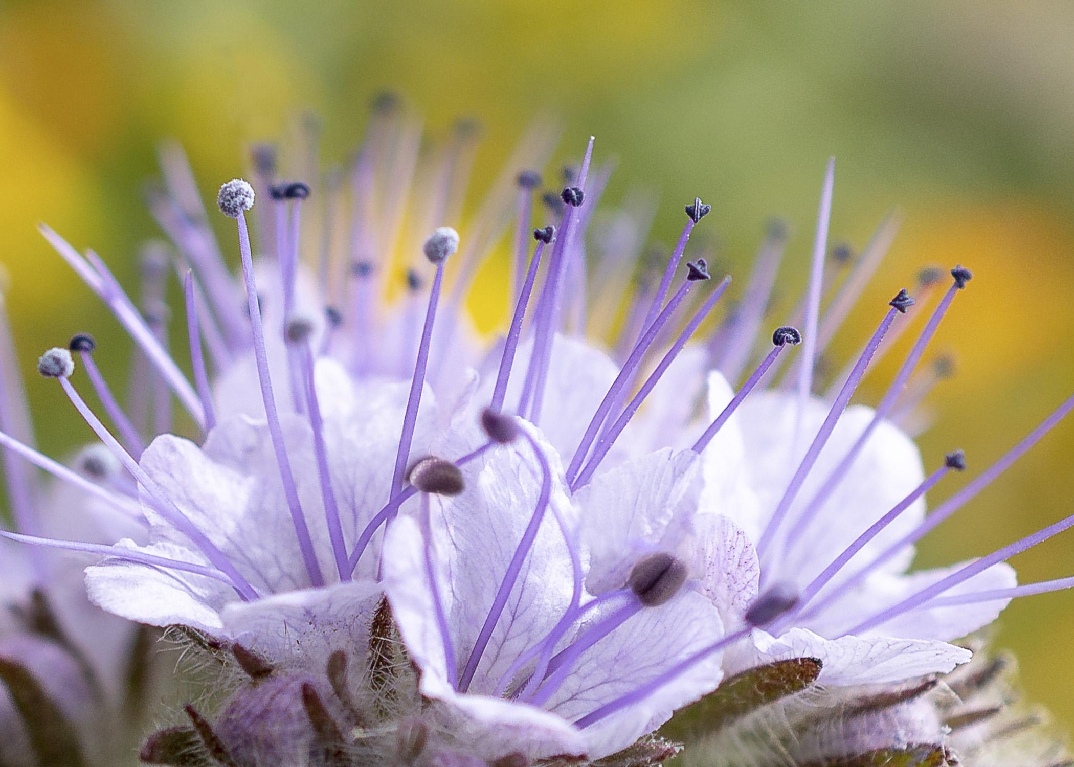 Lacy Phacelia Flower
