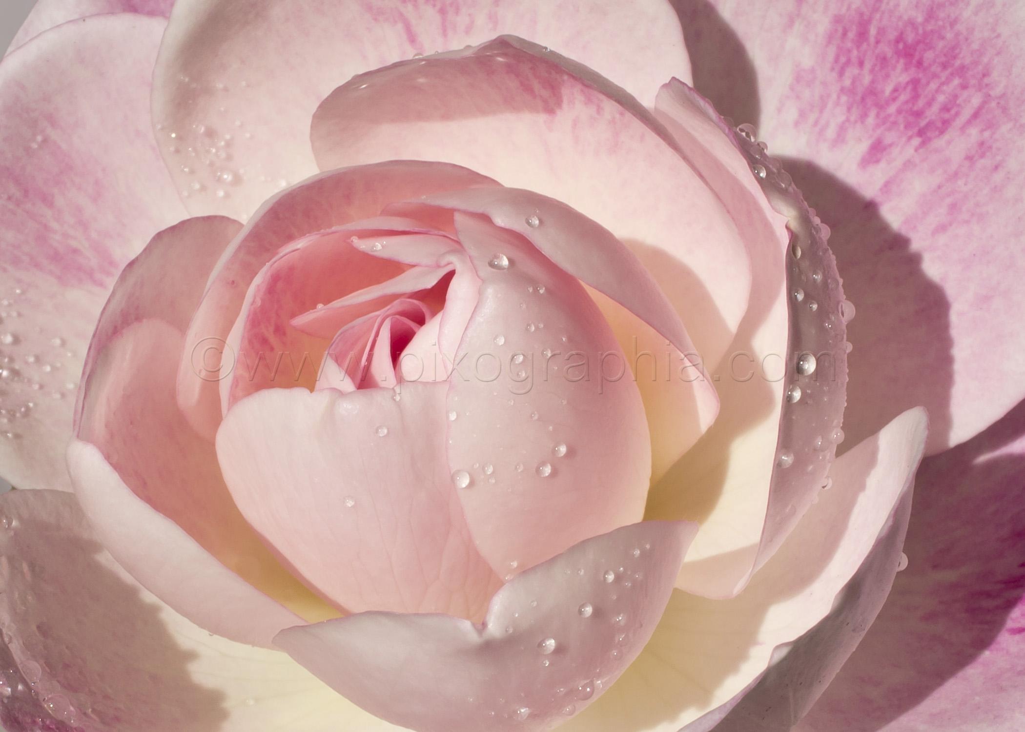 Miniflora Pink Rose