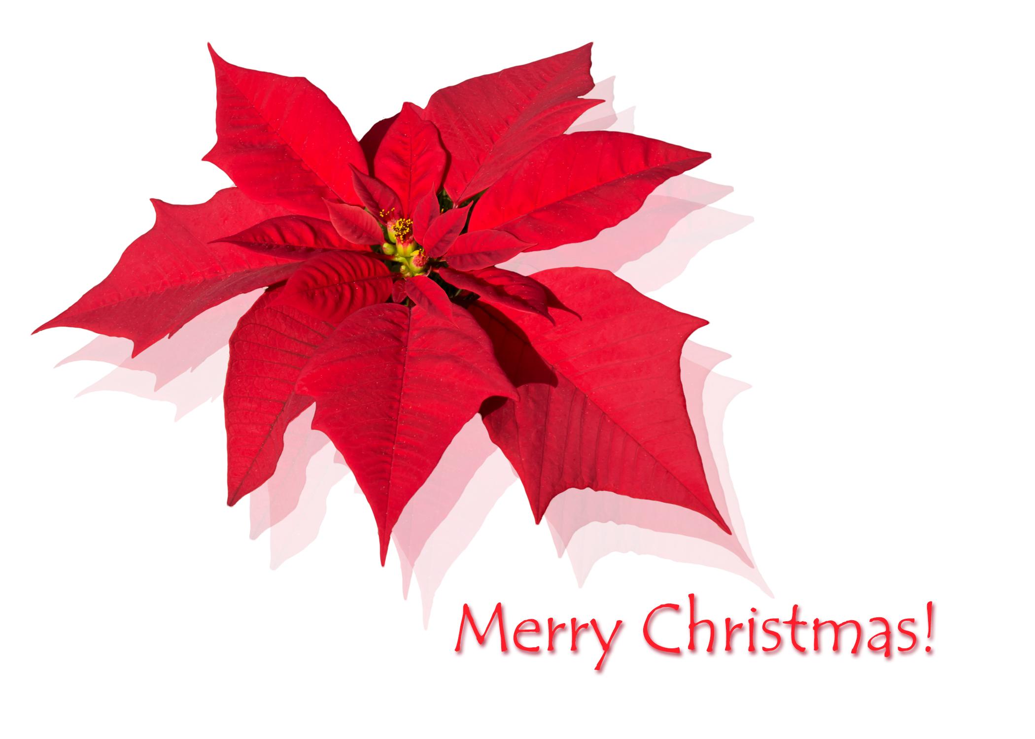 MerryChristmas_poinsettia.jpg