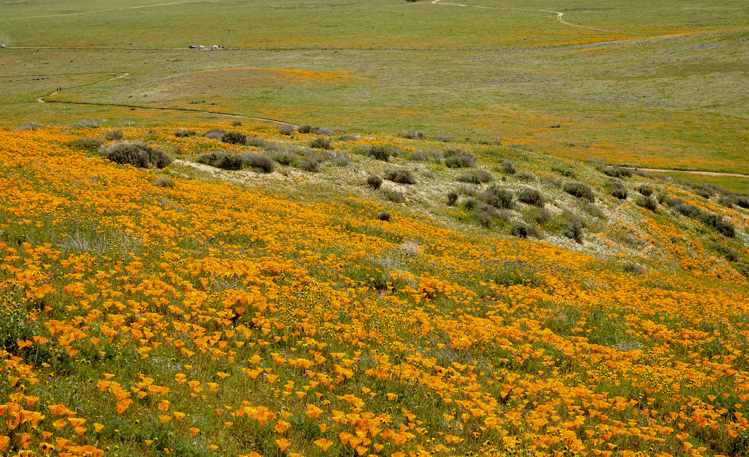 Landscape of Blooming California Poppies
